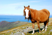 Wild pony on the Carneddau, Snowdonia.