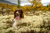 Orchy finding a soft comfy patch of reindeer lichen to chill out on.
